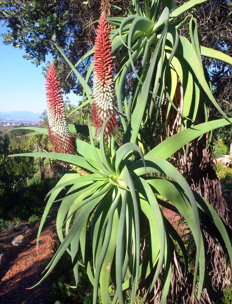 1000 Images About Aloes On Pinterest Aloe Succulents