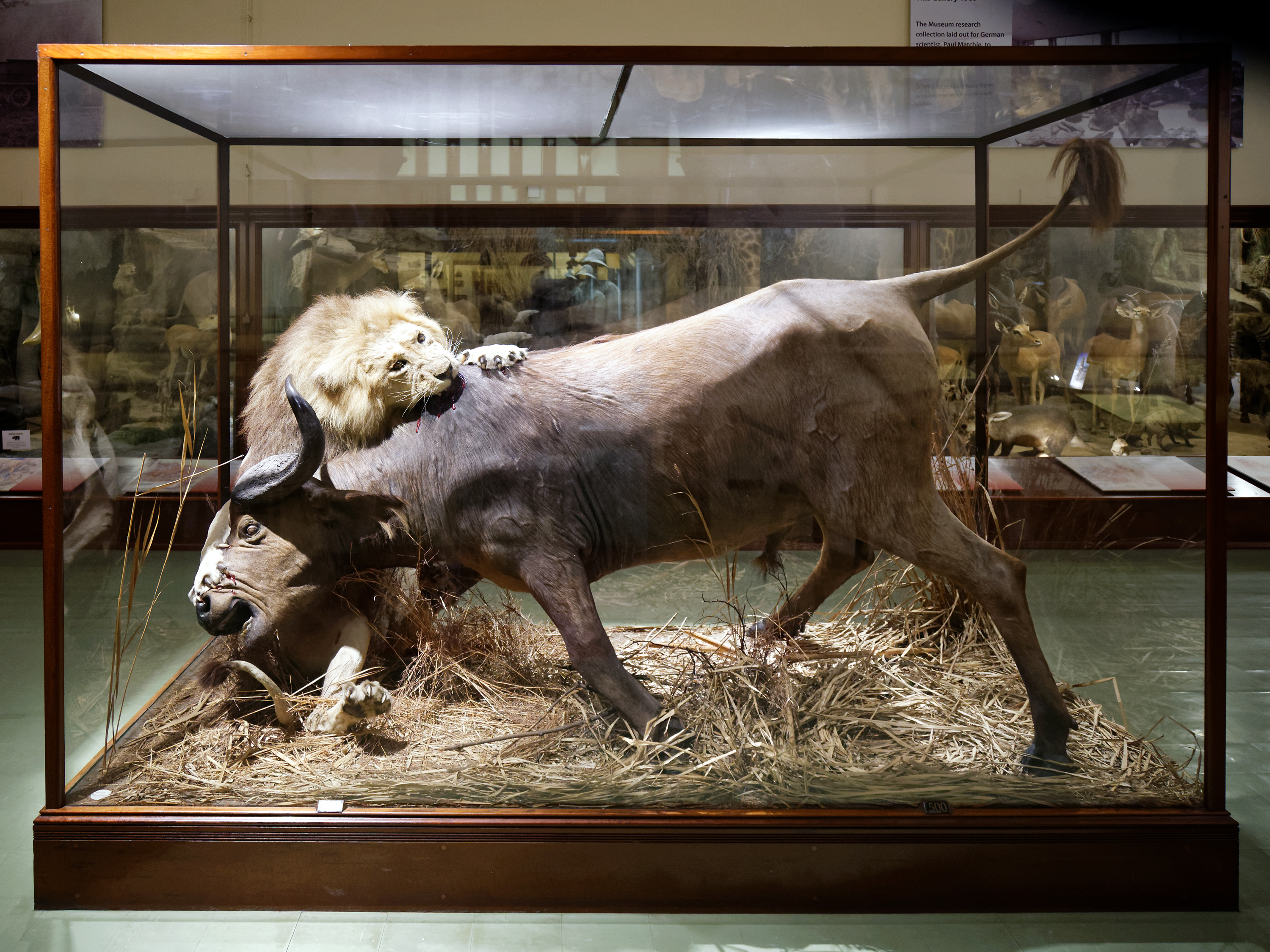 File Animated Lion And African Buffalo Taxidermy Powell