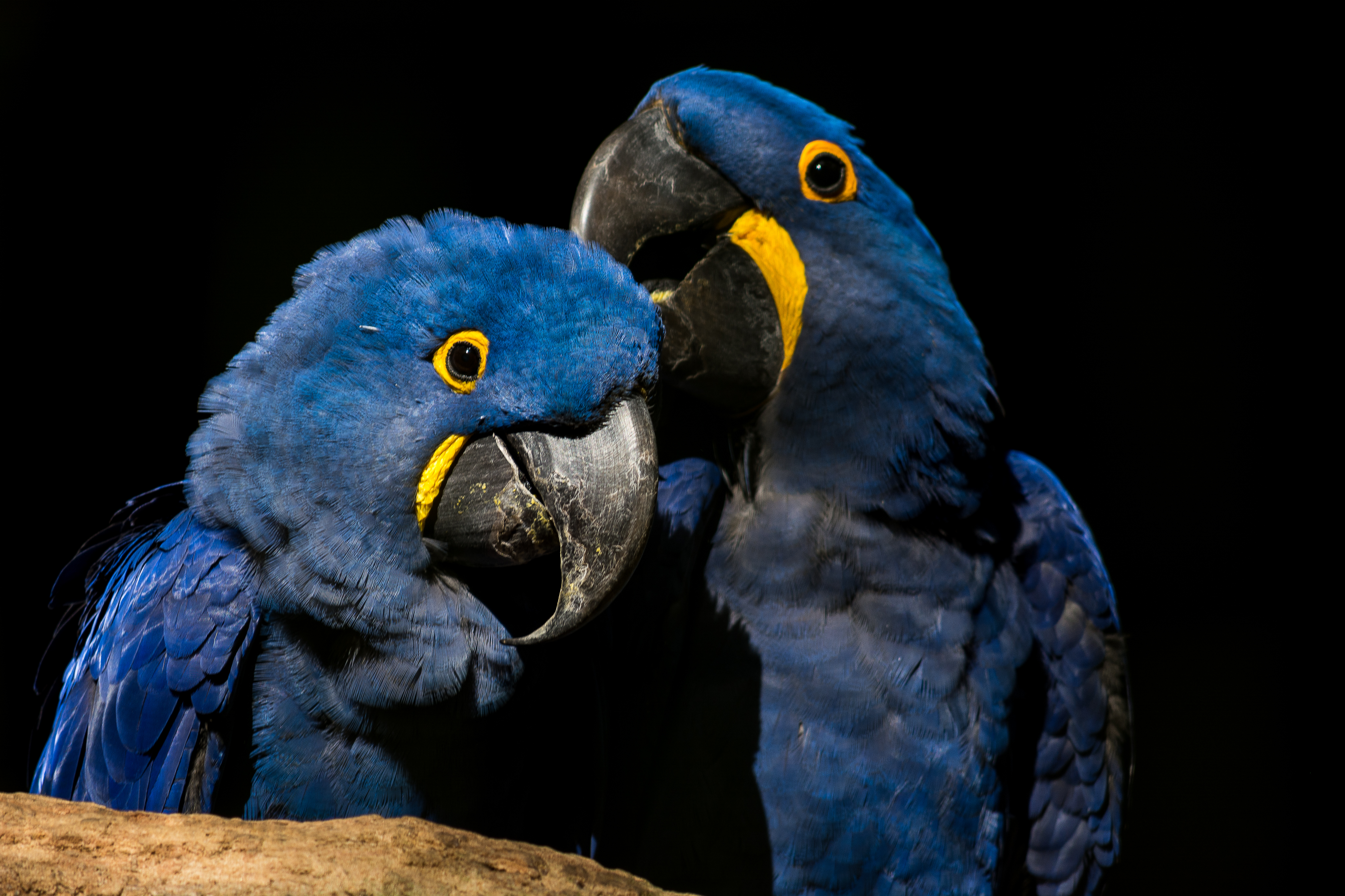 Conhecido File:Arara-azul.jpg - Wikimedia Commons WC37