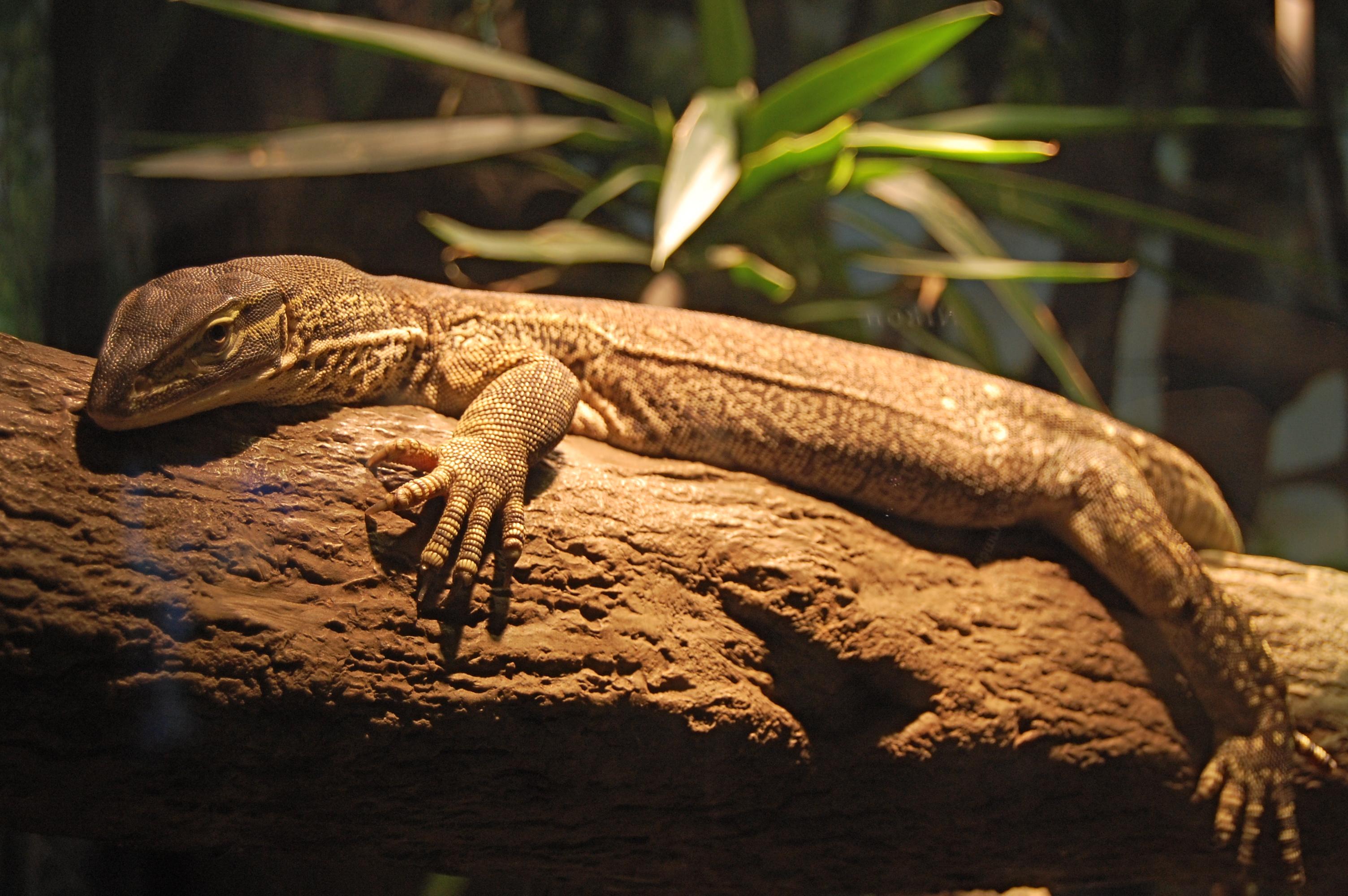 File:Argus monitor, Boston Aquarium.jpg - Wikipedia