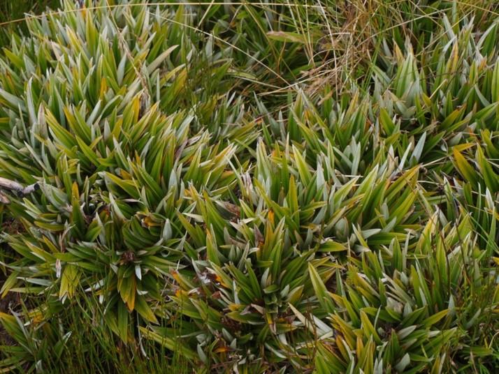 pineapplegrass