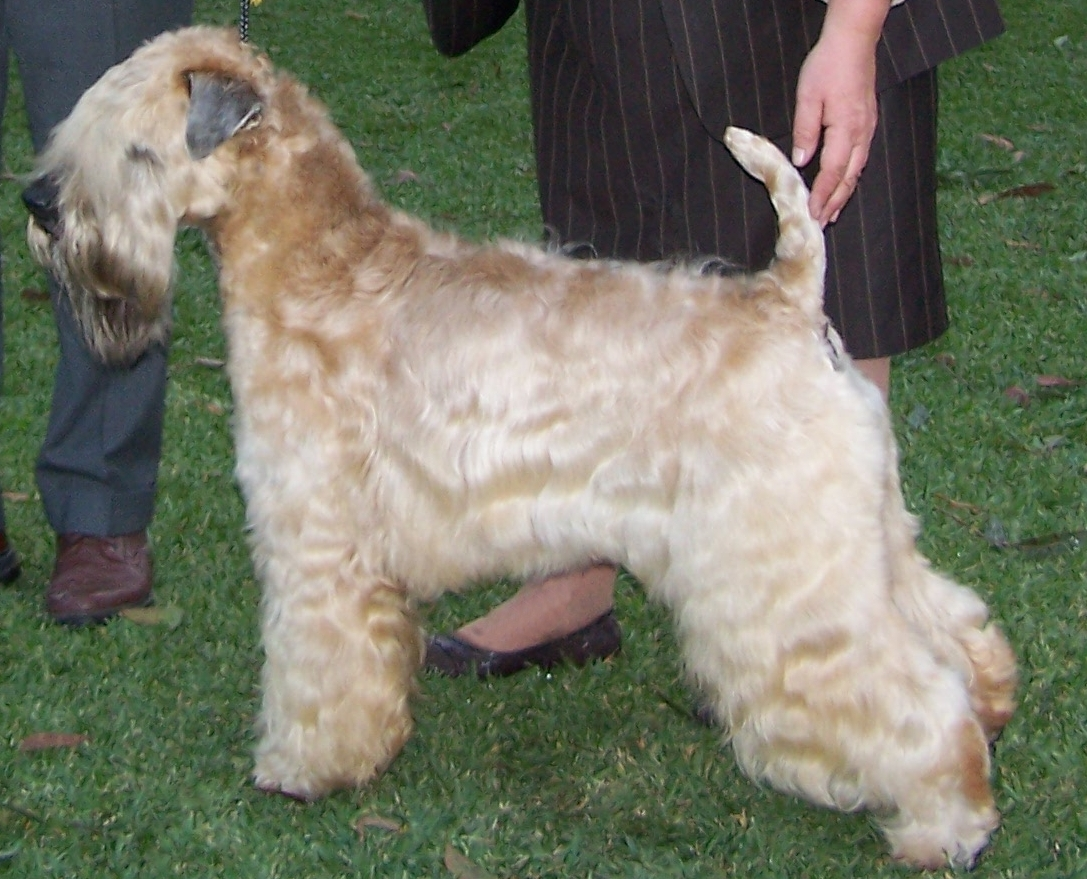 Soft Coated Wheaten Terrier Wikipedia
