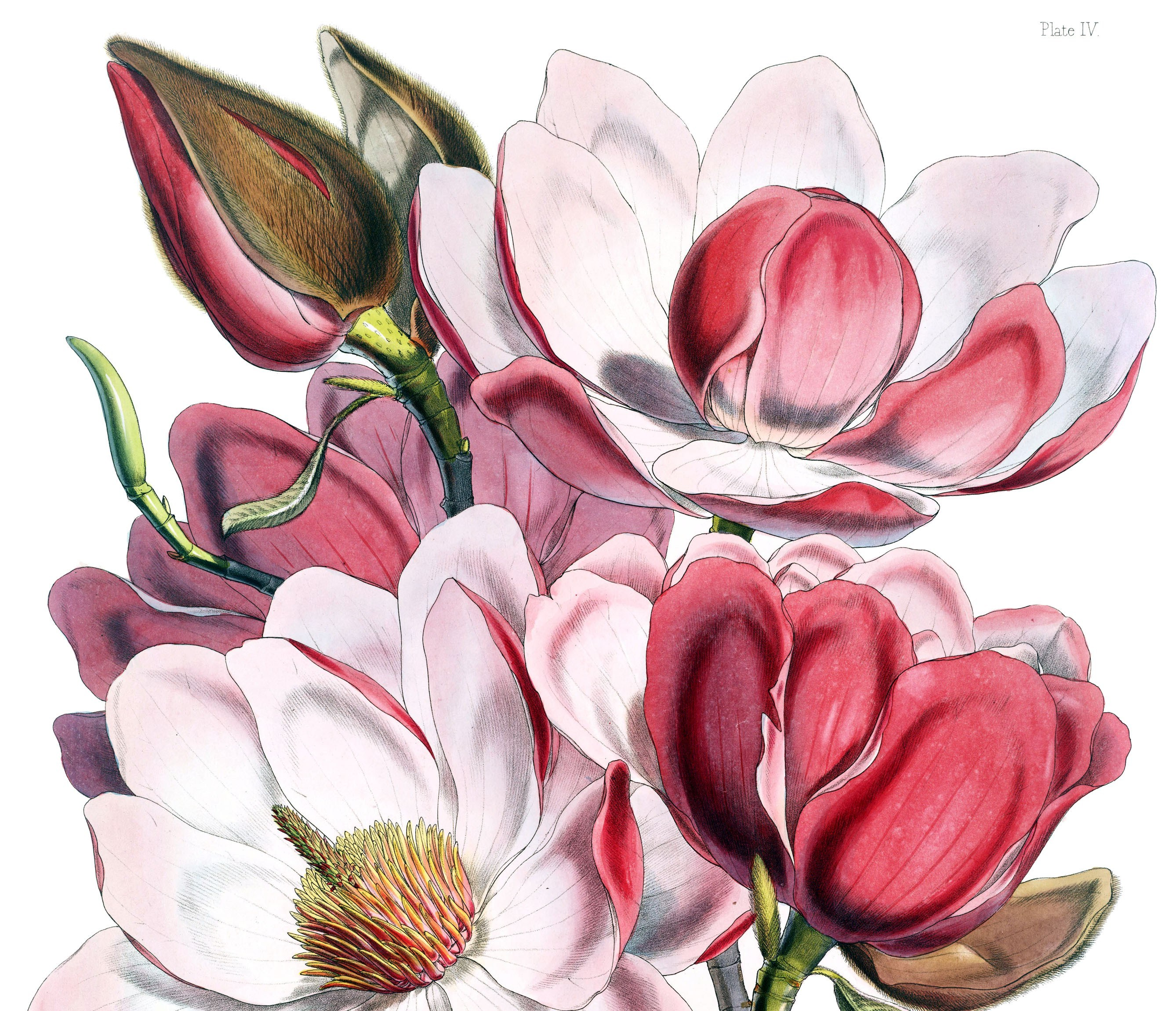 Pink Magnolia Flowers In Green Vase Still Life Painting Barr