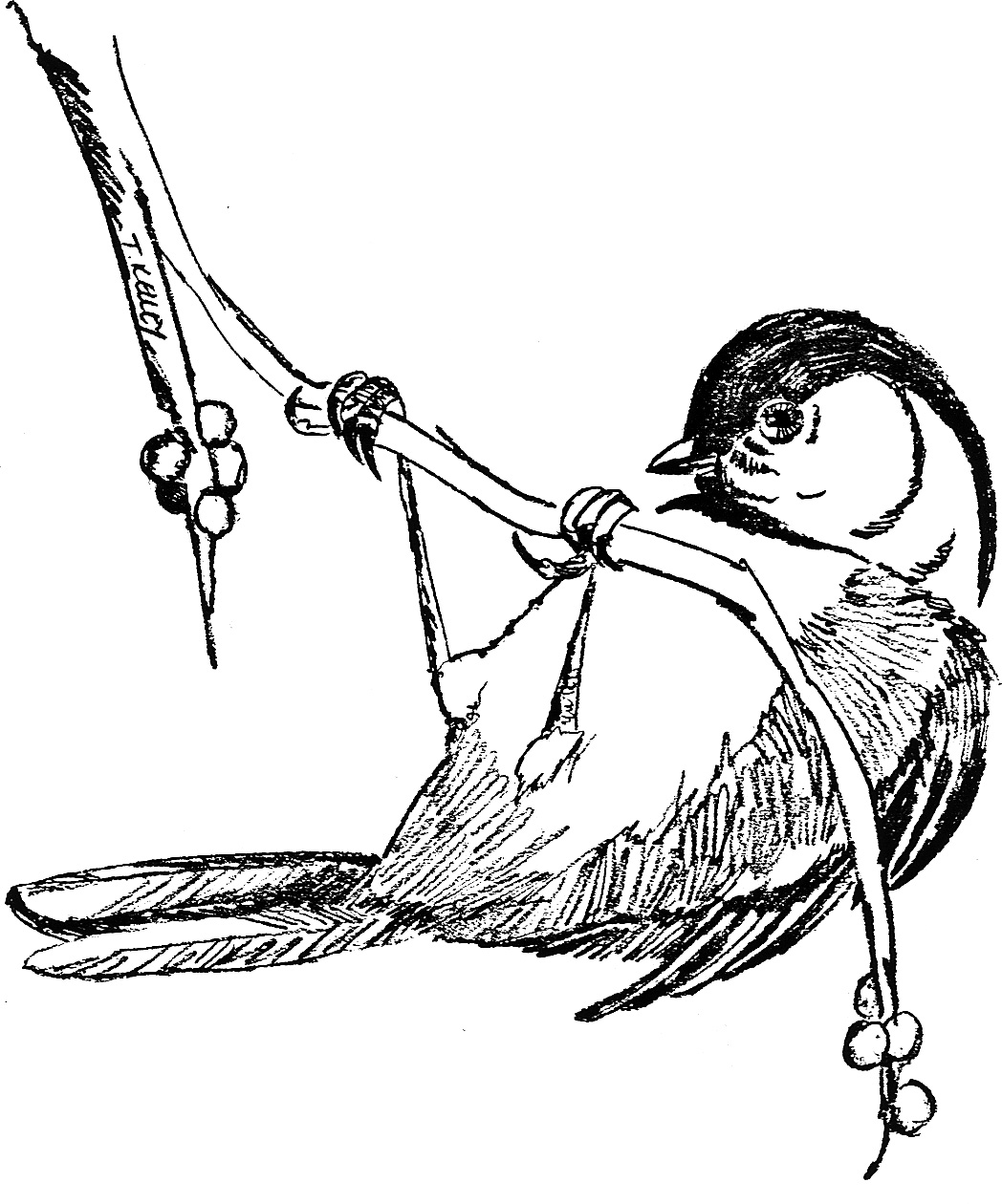 chickadee bird coloring pages - photo#28