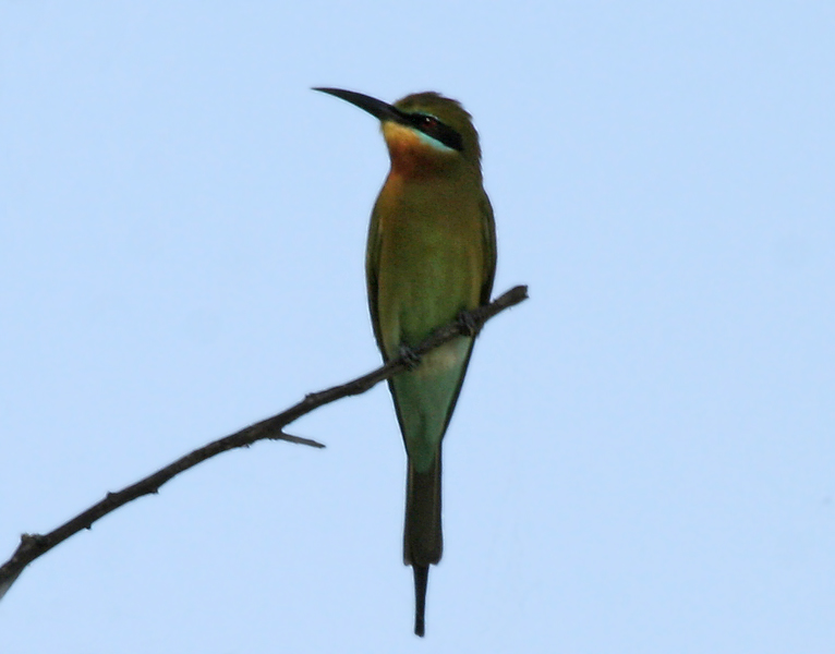 Blue Tailed Bee Eater Migration File:blue-tailed Bee-eater