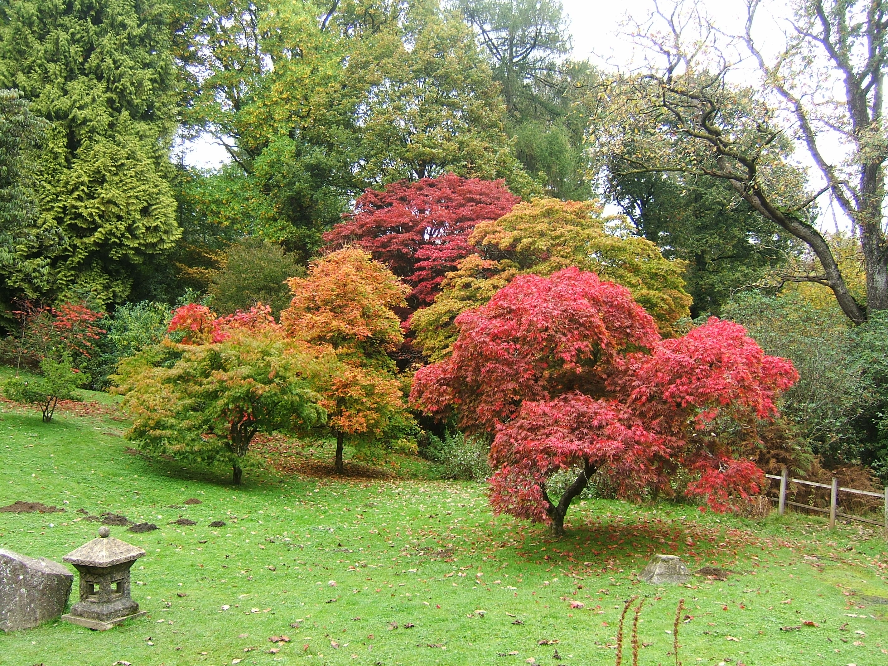File bryngarw country park japanese garden autmn maple for Maple trees for small gardens