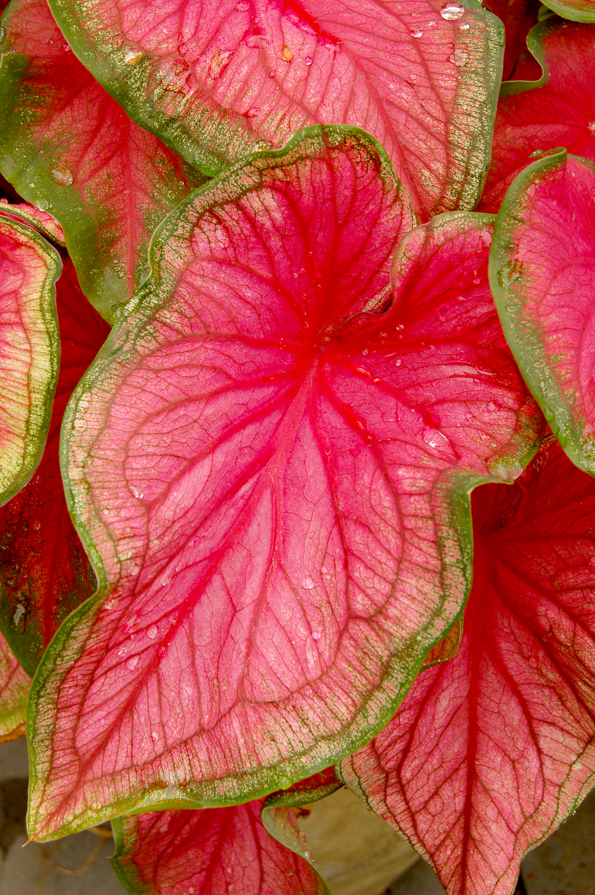 File:Caladium bicolor 'Florida Sweetheart' Leaf 2000px.jpg - Wikimedia Commons