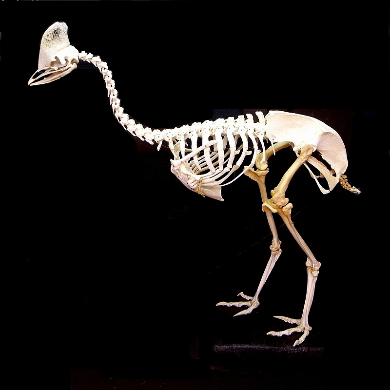 Cassowary skeleton - photo#1