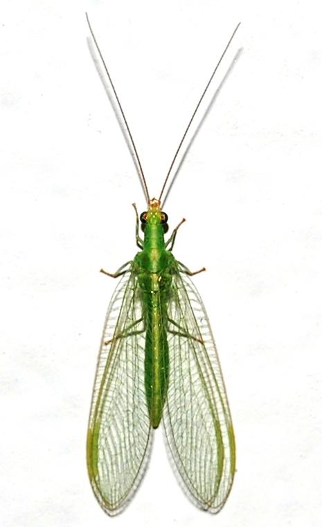 Chrysoperla mediterranea 0125.JPG