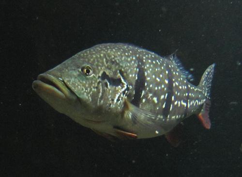 File:Cichla temensis.jpg