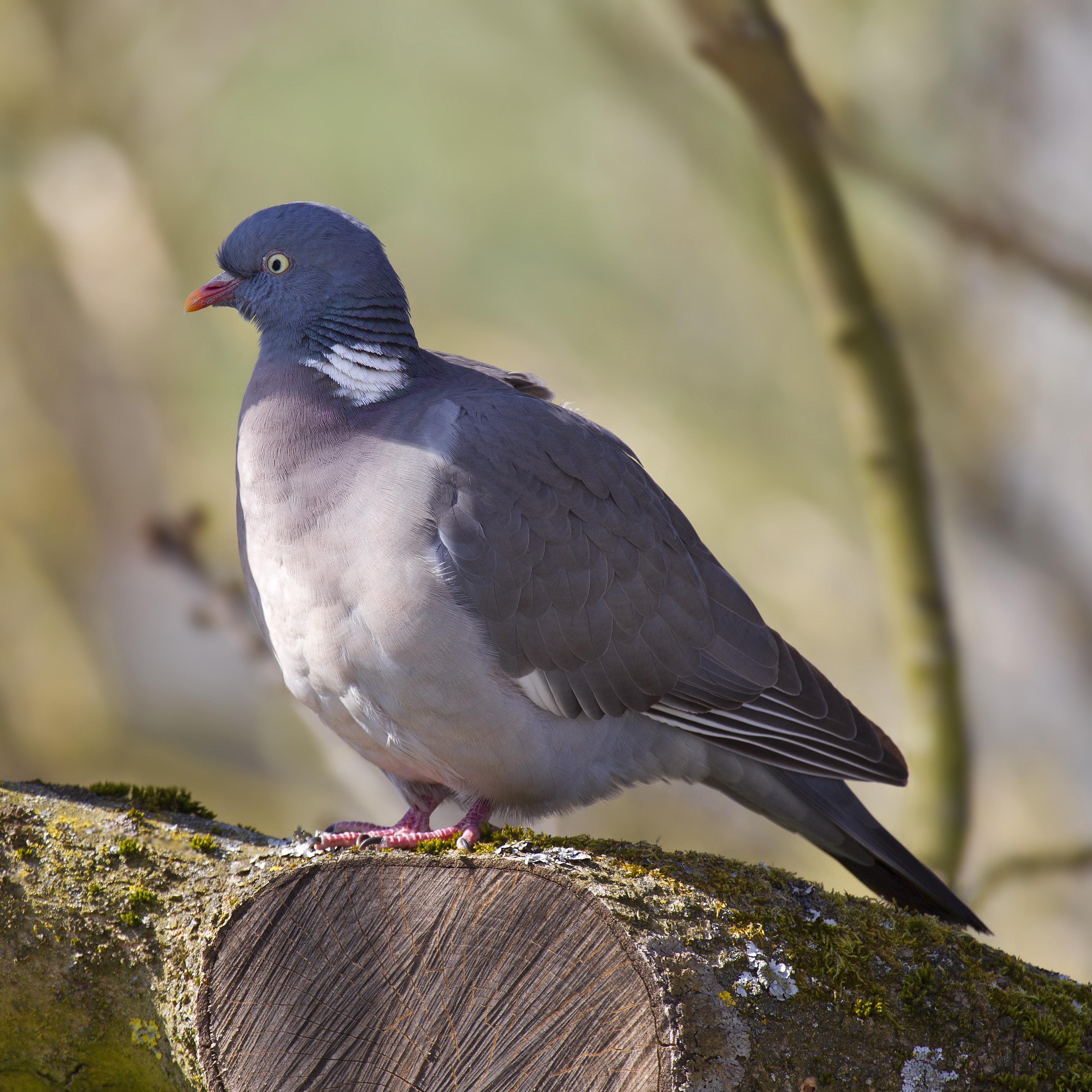 голубь фото птицы размеры велосипедной прогулки