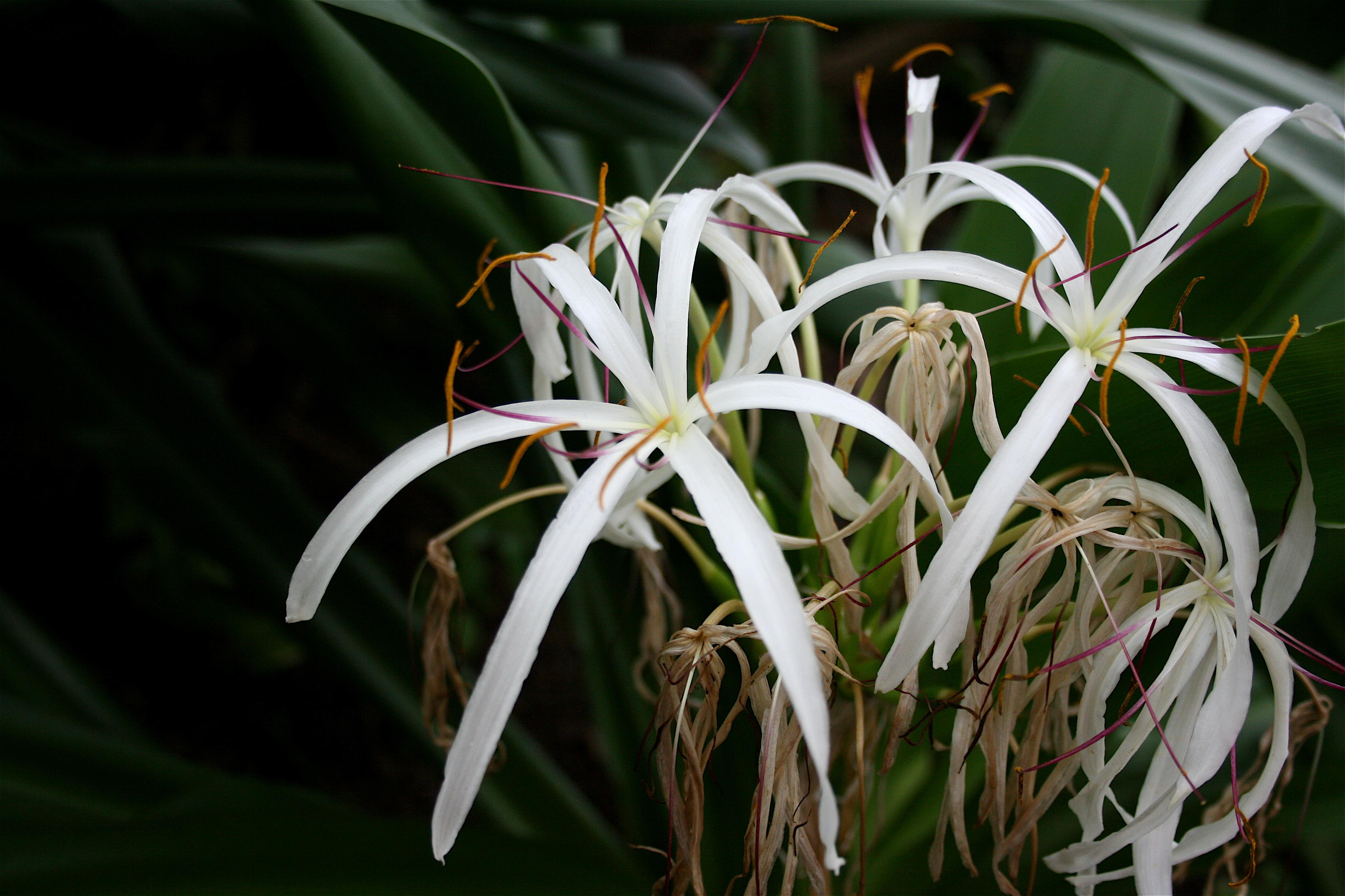 Crinum Lily.JPG