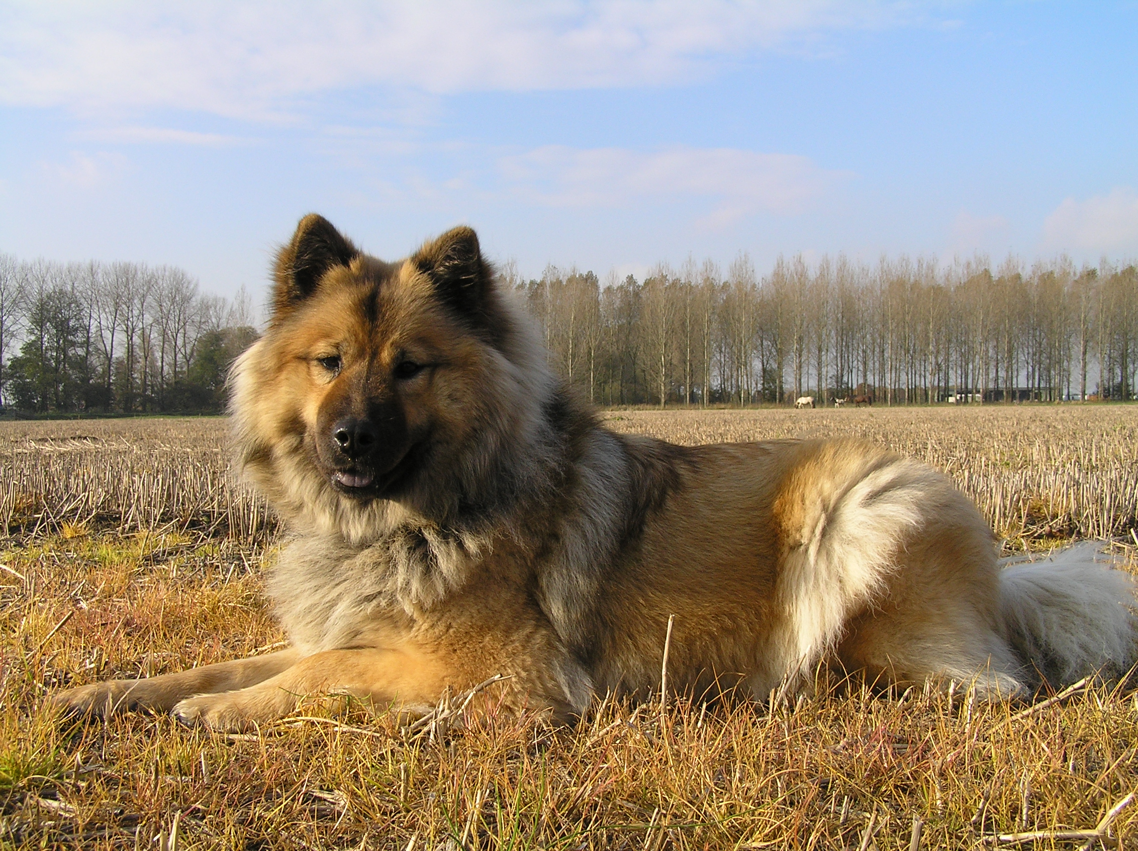 http://upload.wikimedia.org/wikipedia/commons/4/41/Eurasier.jpg