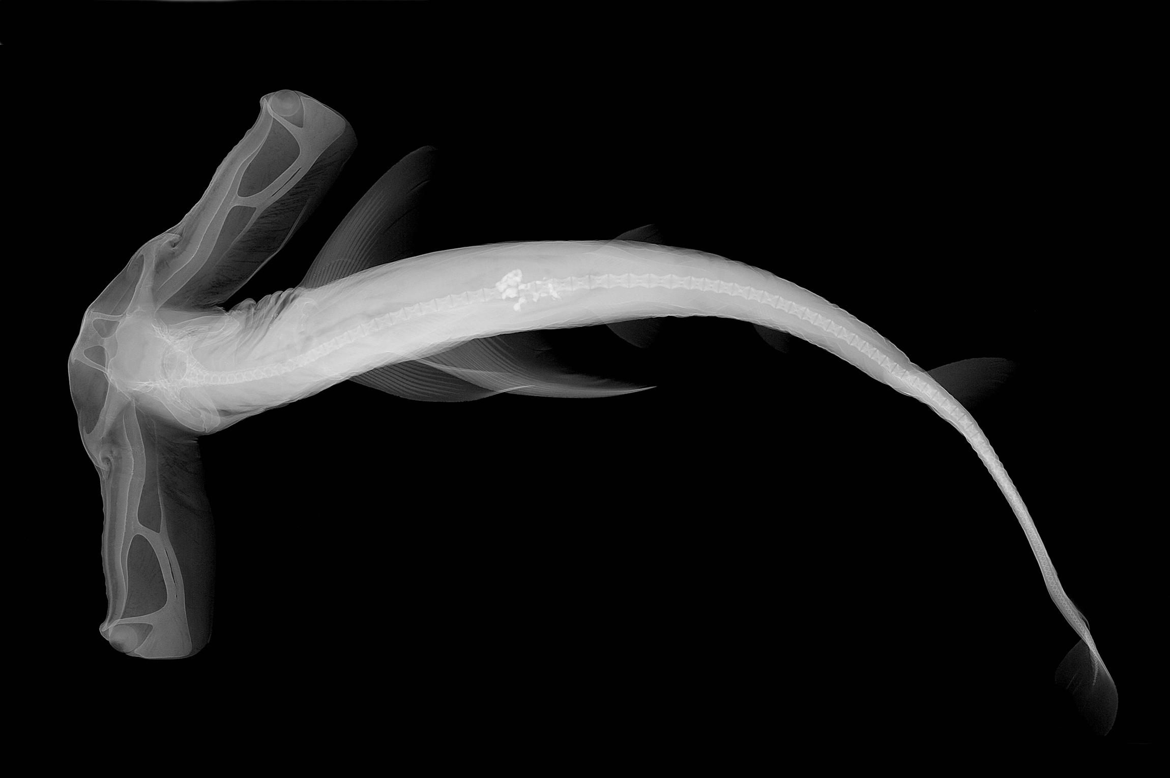 Eusphyra blochii X-ray.jpg