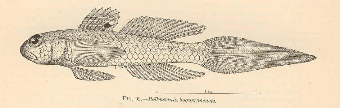 FMIB 38123 Bollmannia bogueronensis Evermann & Marsh.jpeg © Commons
