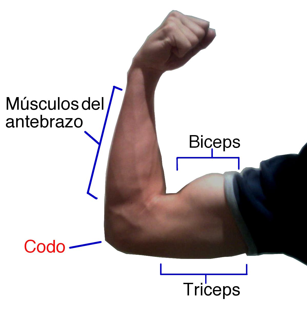 Flexión (anatomía) - Wikipedia, la enciclopedia libre