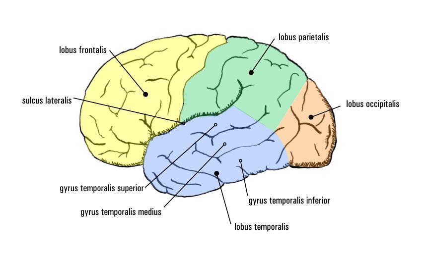 Temporallappen – Wikipedia