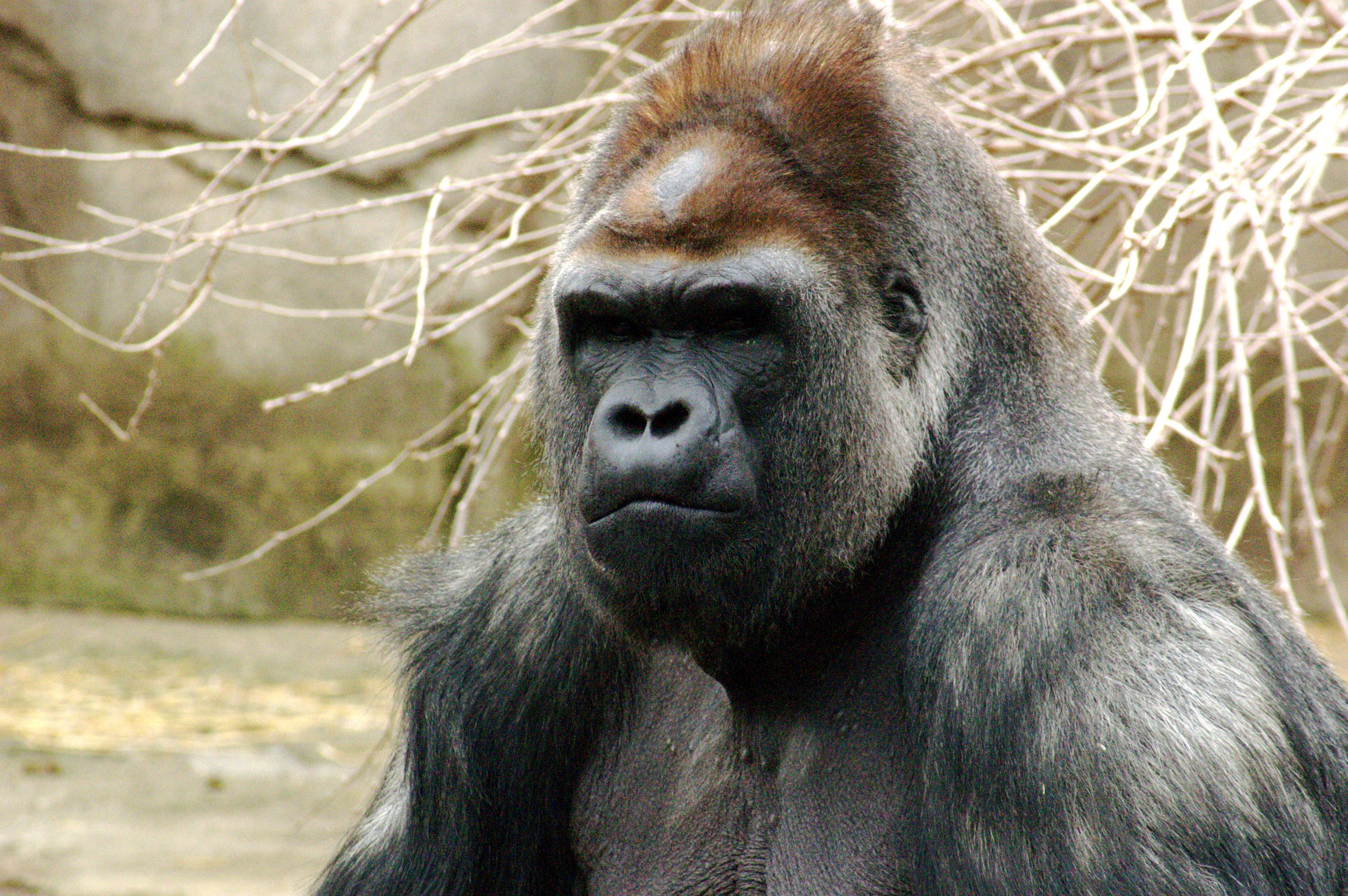 Wikipedia large ape sperm gave