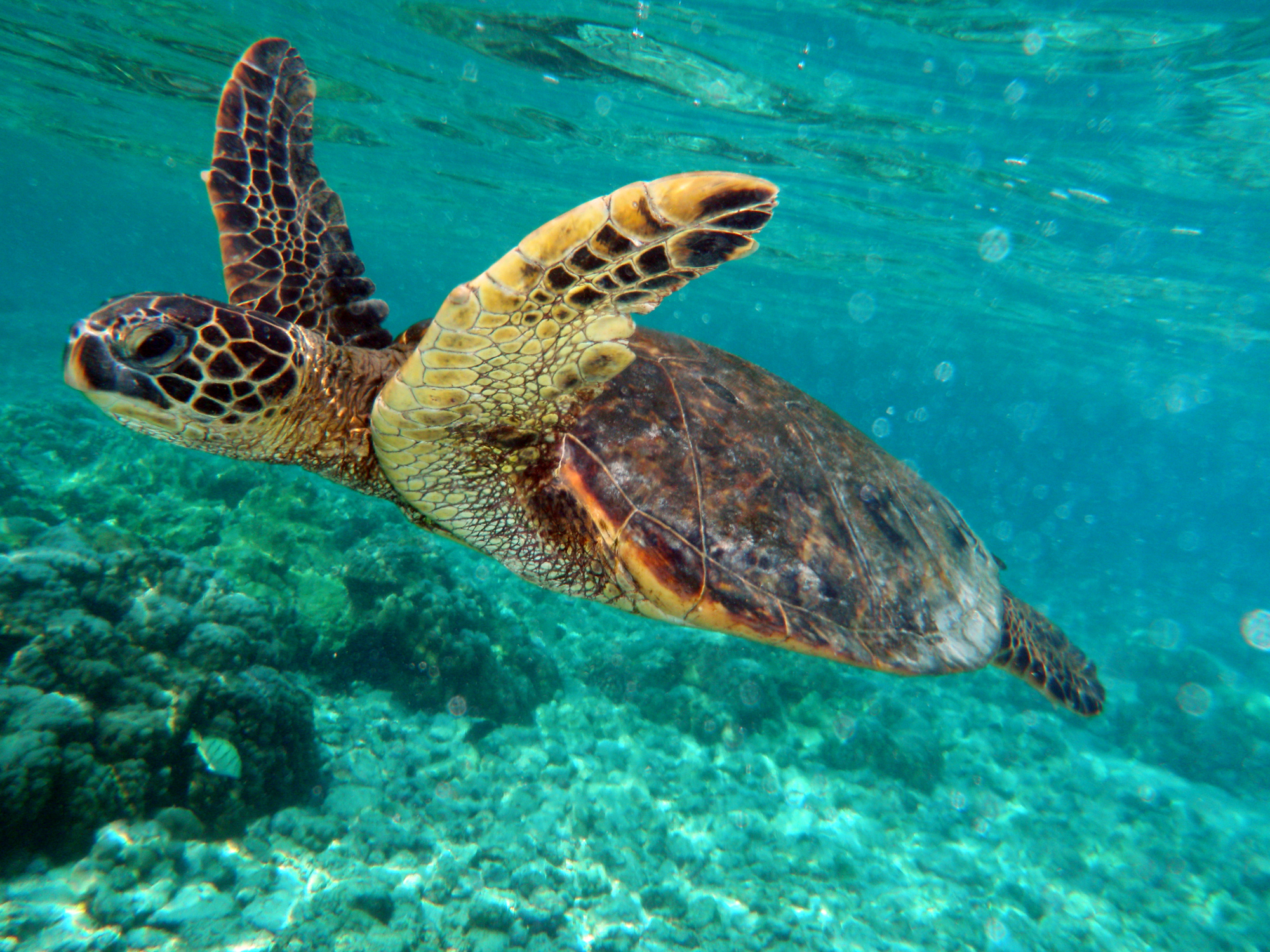 File:Green turtle swimming in Kona May 2010.jpg - Wikimedia Commons