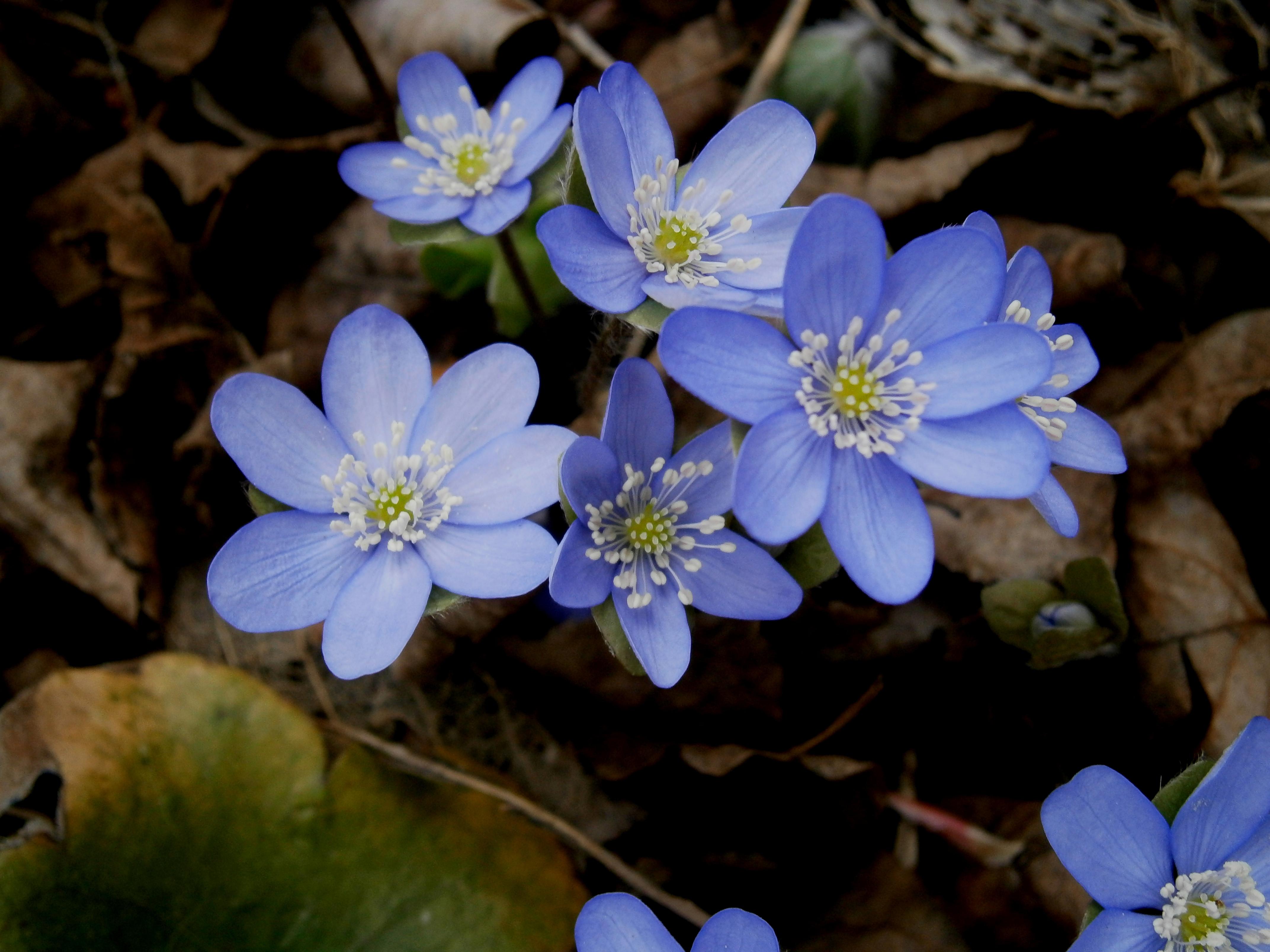 Колокольчик широколистный цветов 5