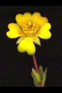 Hickmans potentilla tony morosco.jpg