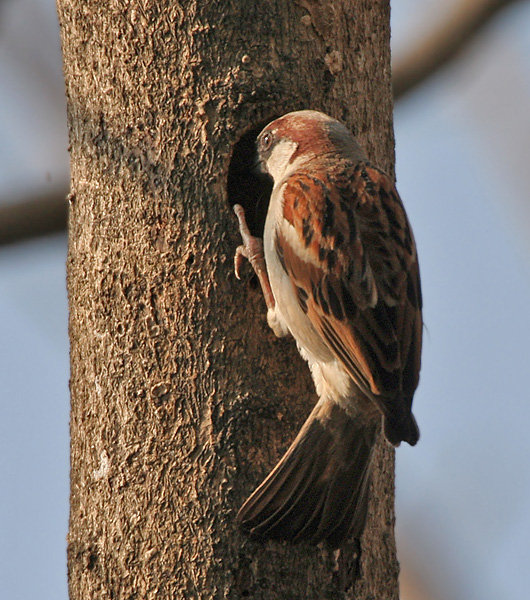 ચિત્ર:House Sparrow (Passer domesticus)- Male peeping in a tree hole in Kolkata I IMG 0903.jpg