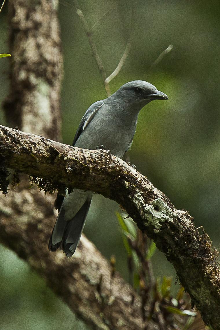 Kepudang Sungu Jawa Wikipedia Bahasa Indonesia Ensiklopedia Bebas