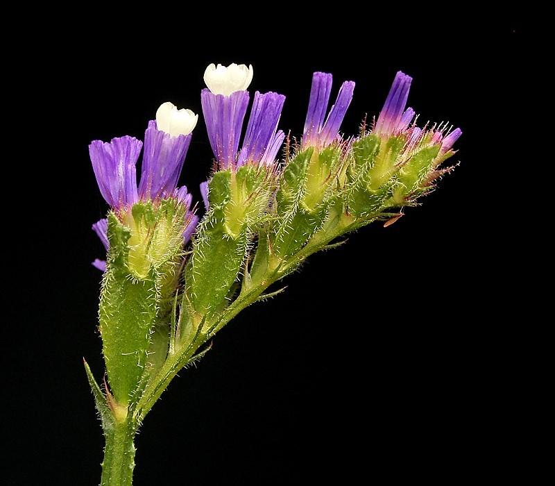 File:Limonium sinuatum 04 ies.jpg - Wikimedia Commons