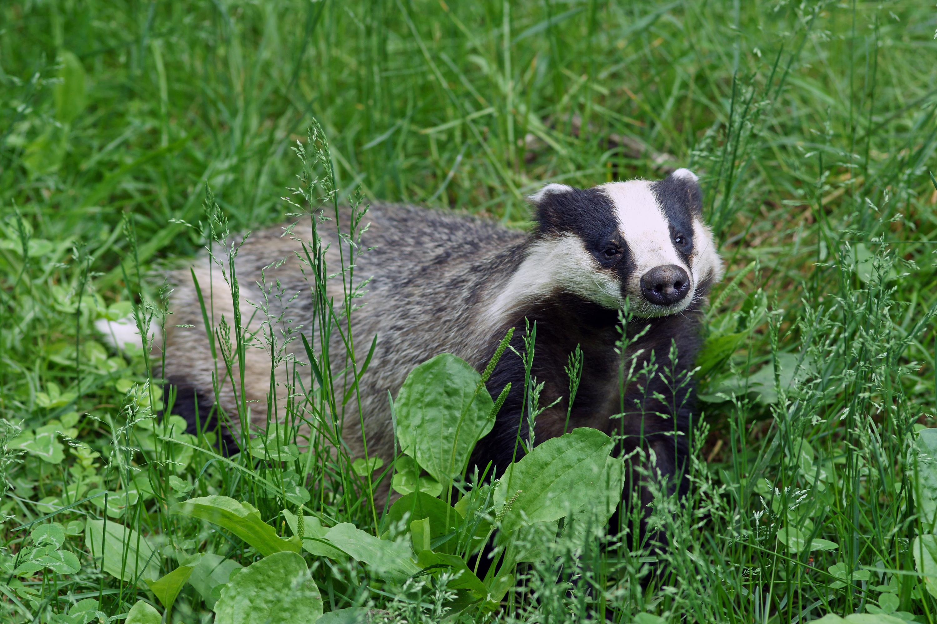 How long is an adult badger