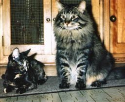 File:Maine Coon cat.jpg
