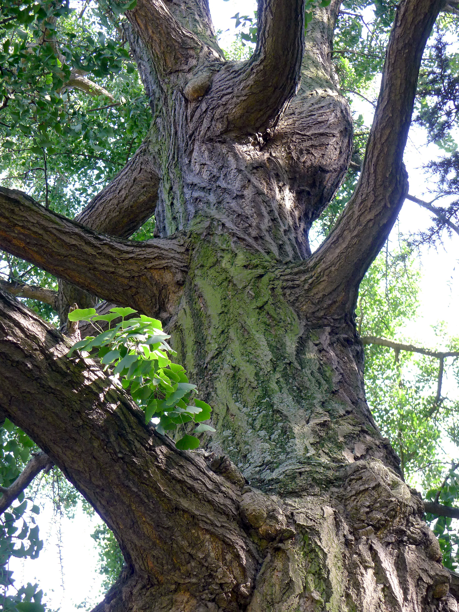 File p1260395 paris v jardin des plantes arbre aux 40 ecus for Jardin aux plantes