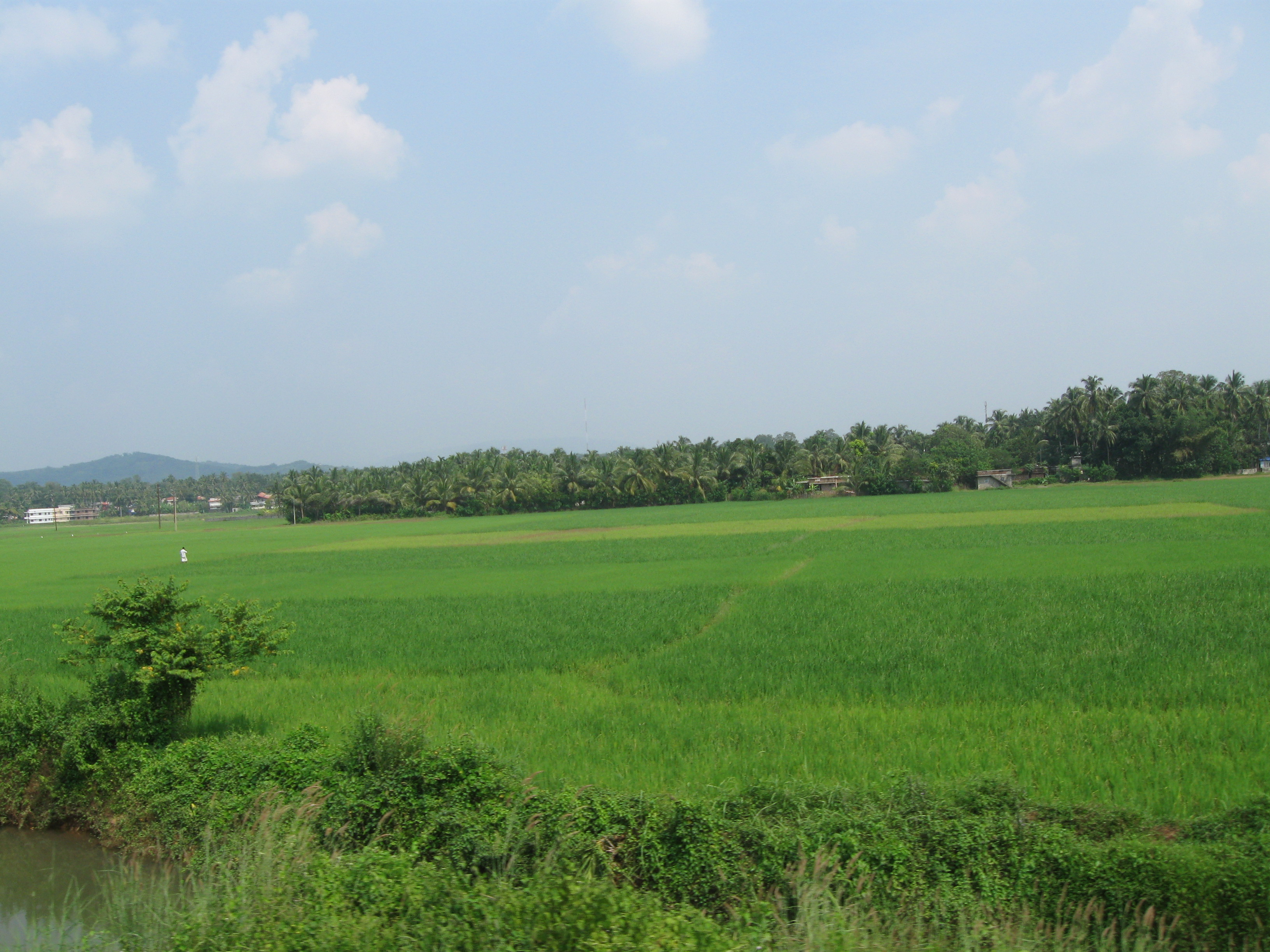 Filepaddy Fields In Kerala Jpg Wikimedia Commons