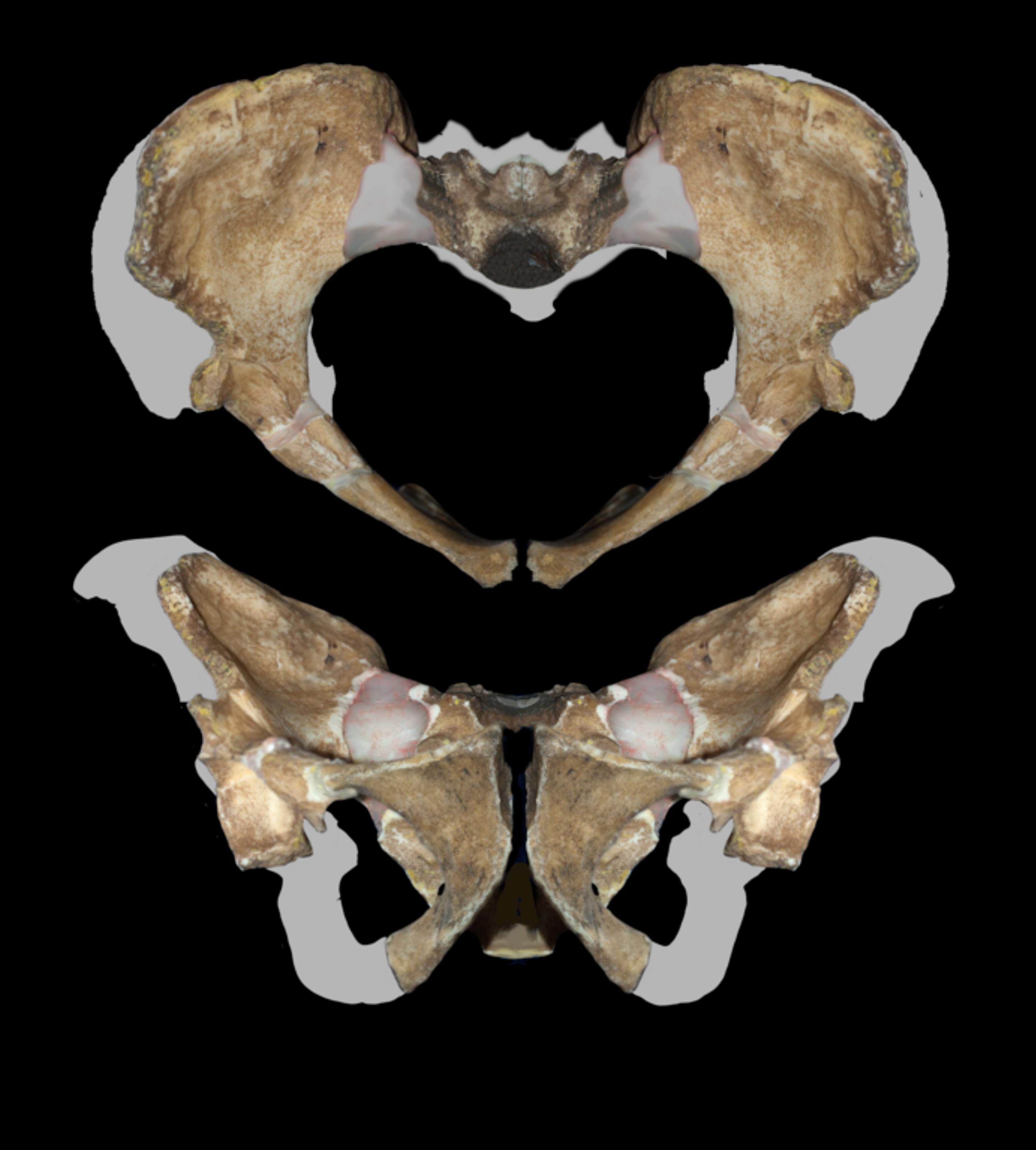 Pelvis de Australopithecus sediba