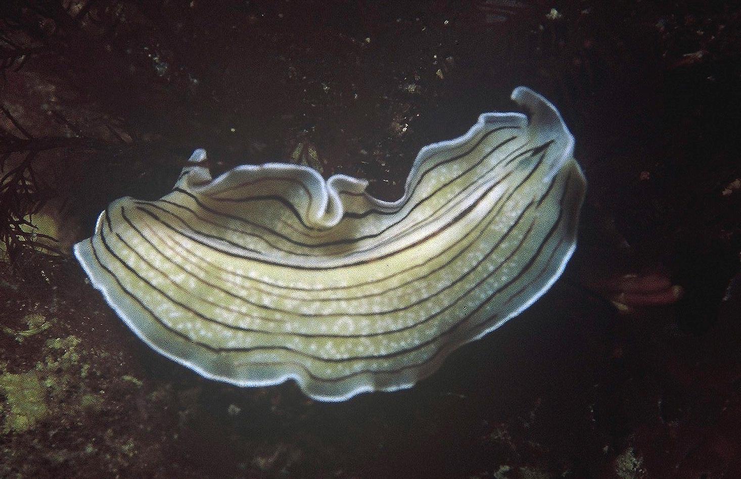 Prostheceraeus vittatus (Montagu, 1815)