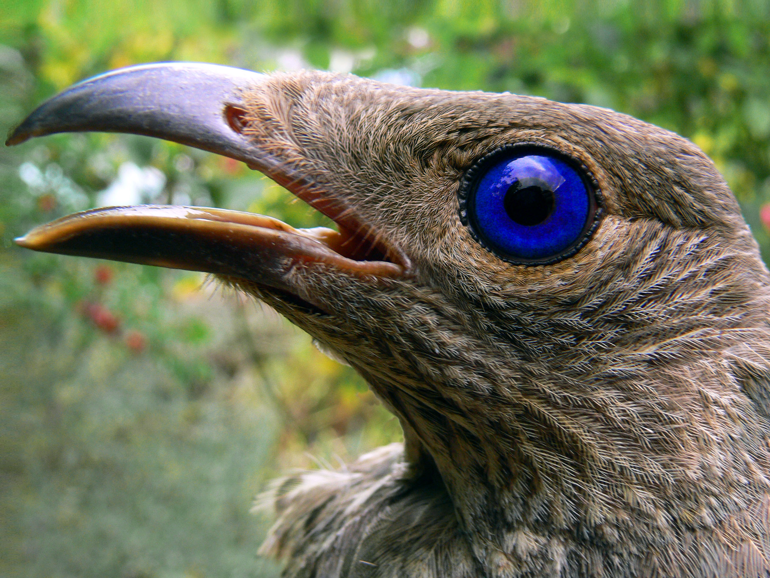 http://upload.wikimedia.org/wikipedia/commons/4/41/Satin_bowerbird.jpg