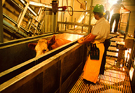 Workers and cattle in a slaughterhouse.