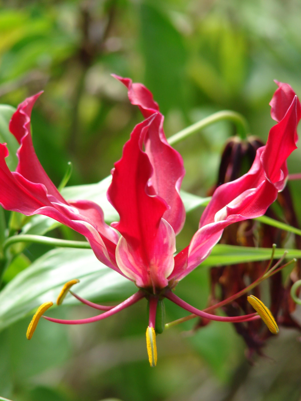 Цветок глориоза фото посадка и уход