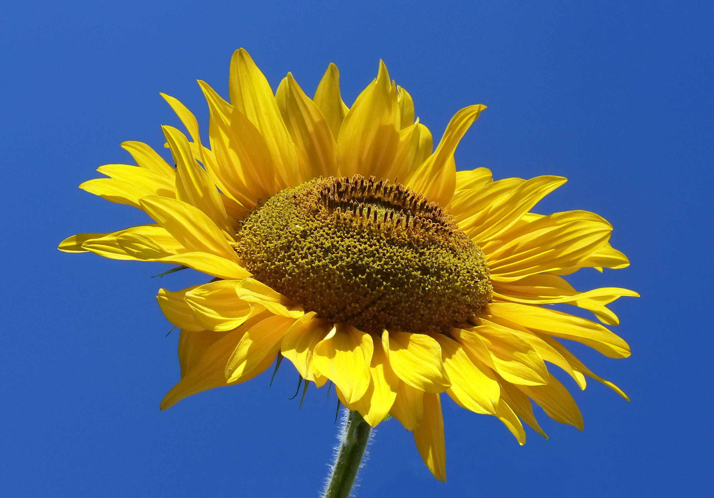 File Sunflower from Si...