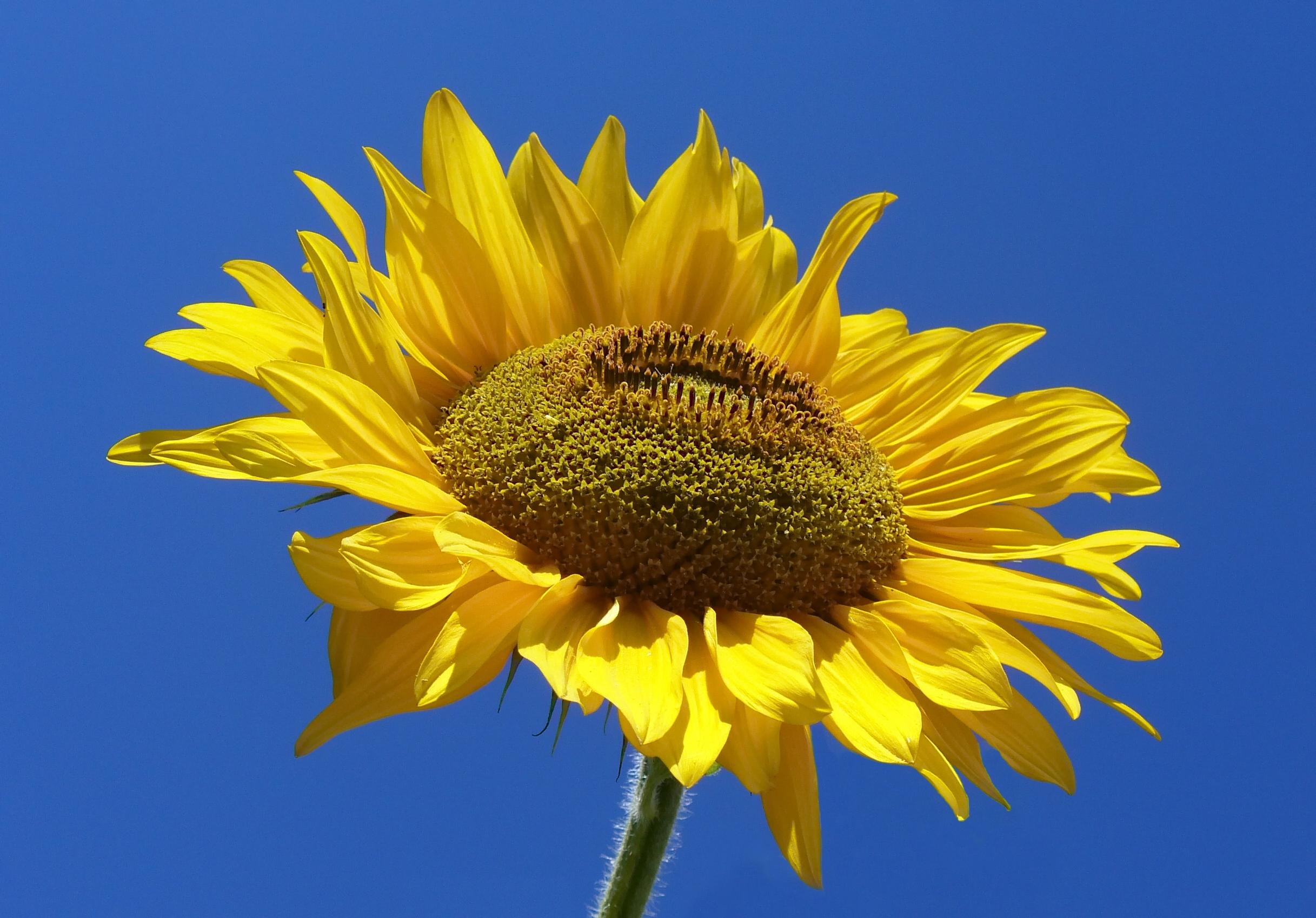 File Sunflower From Silesia2 Jpg Wikimedia Commons
