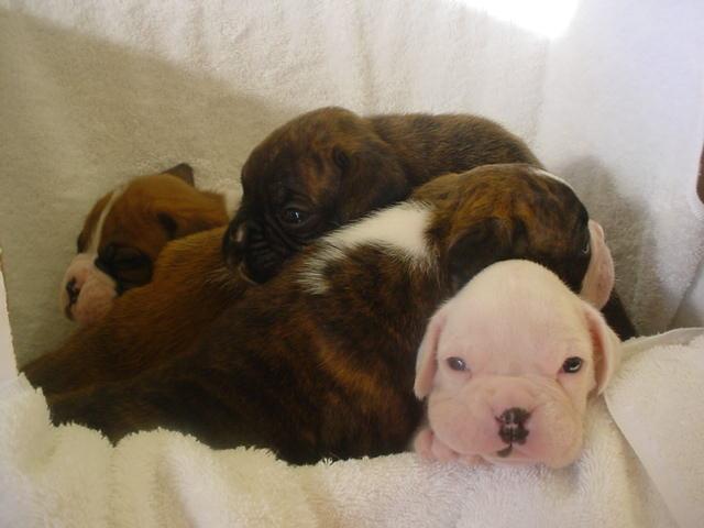 Medium Brown Dogs Breeds