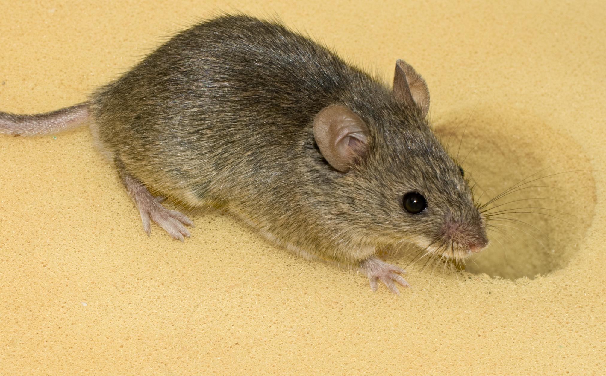 Was Fressen Mäuse hausmaus – wikipedia
