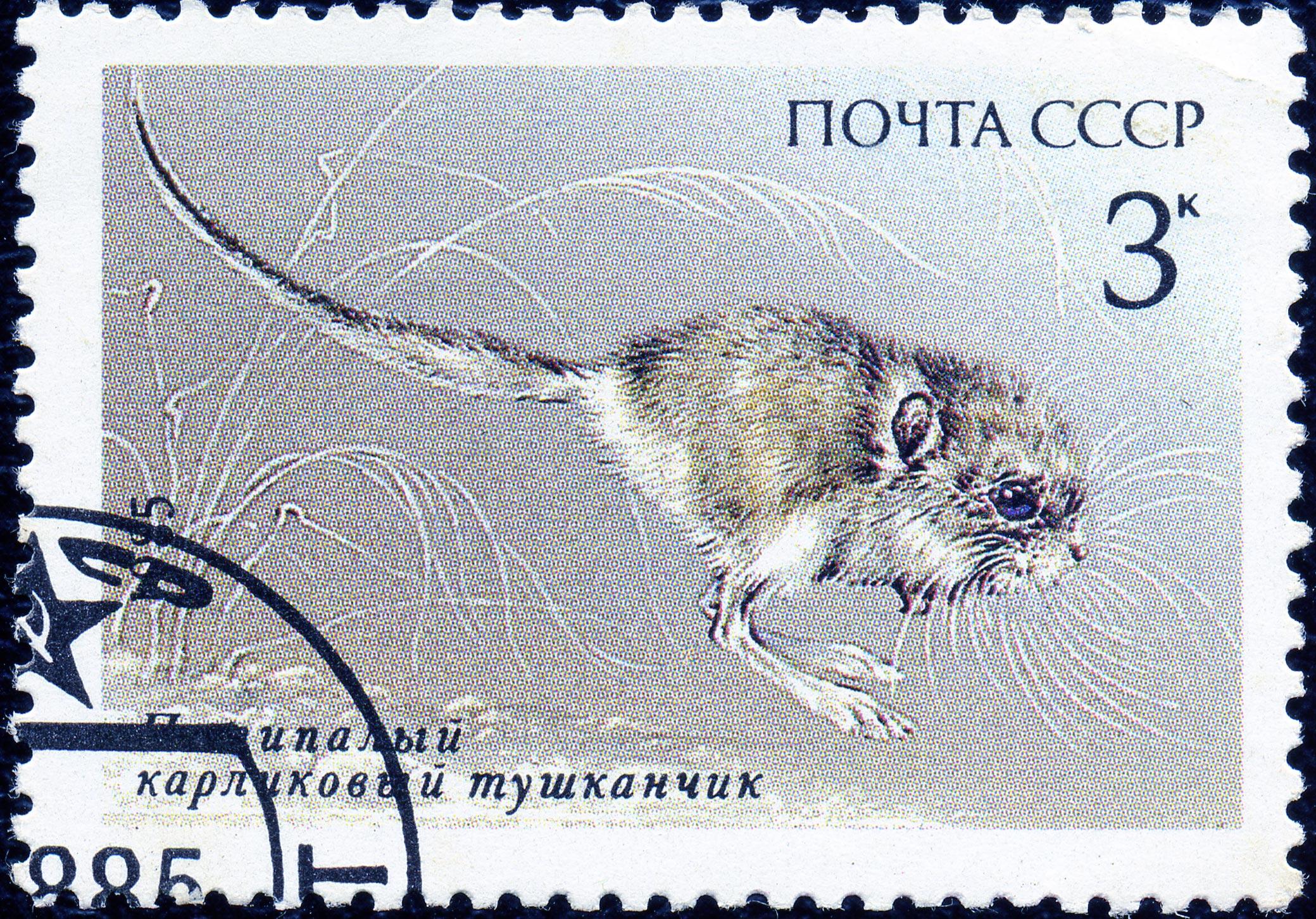 Five-toed pygmy jerboa - Wikiwand - photo#17
