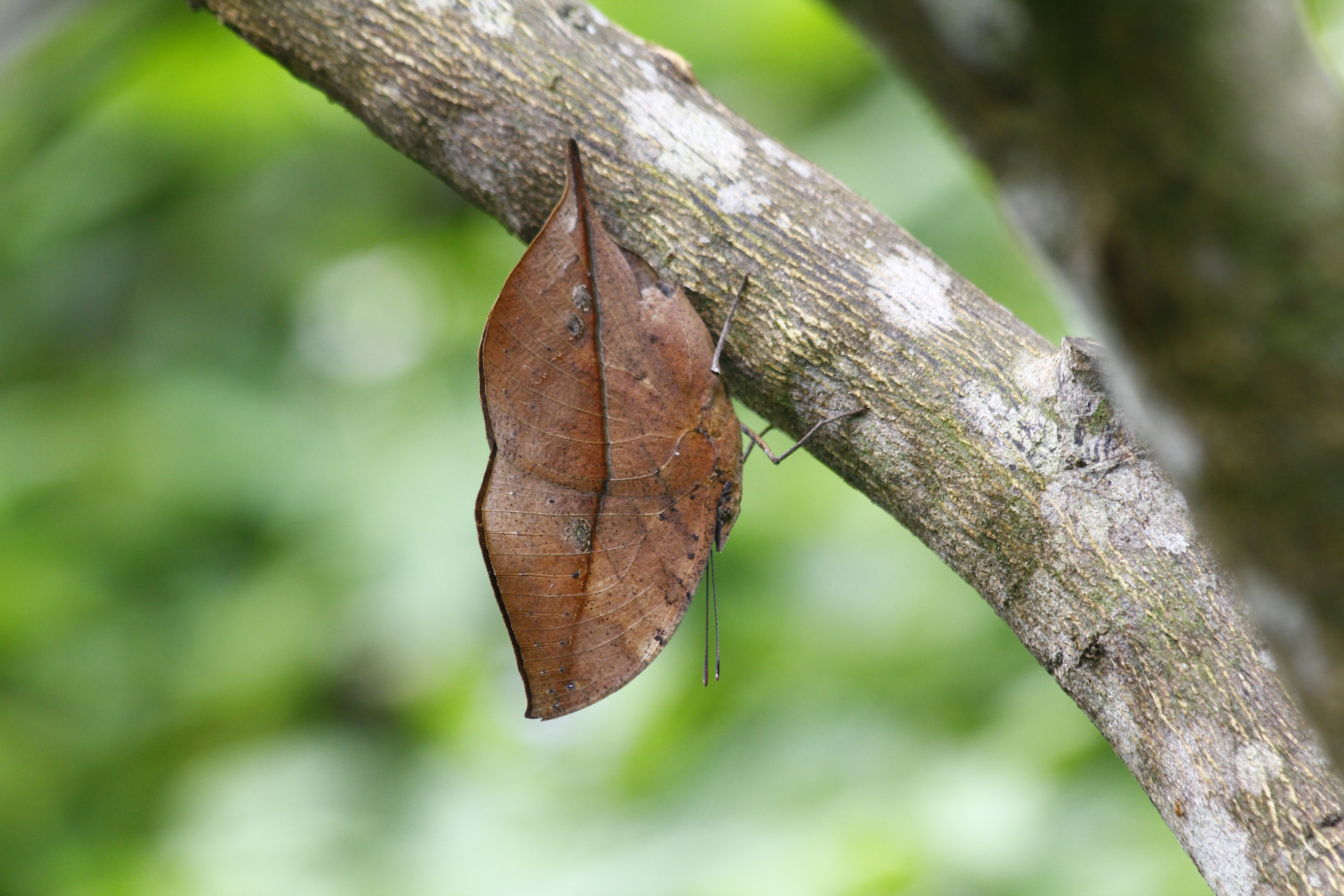 The Dead Leaf Butterfly - Camouflage King of the Asian
