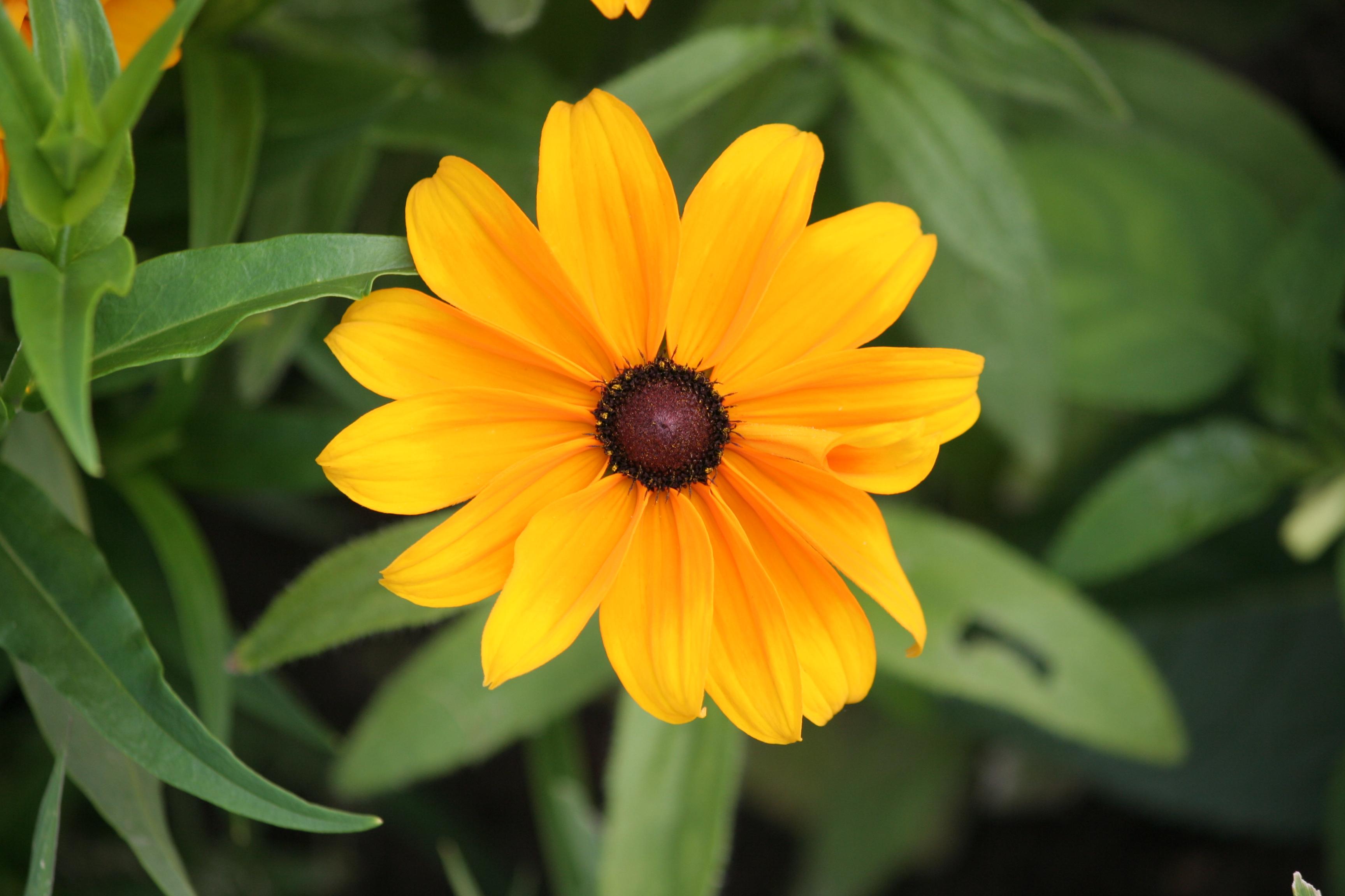 File amboise fleur d 39 un parterre wikimedia commons for Parterre de fleurs