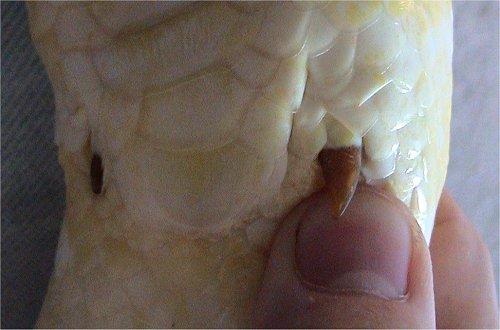 Image result for python spur