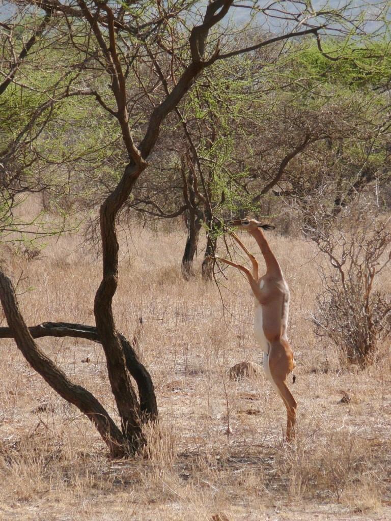antelope - definition ...