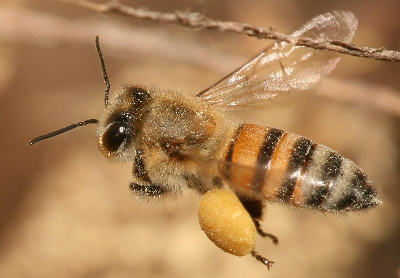 japanese giant hornet queen