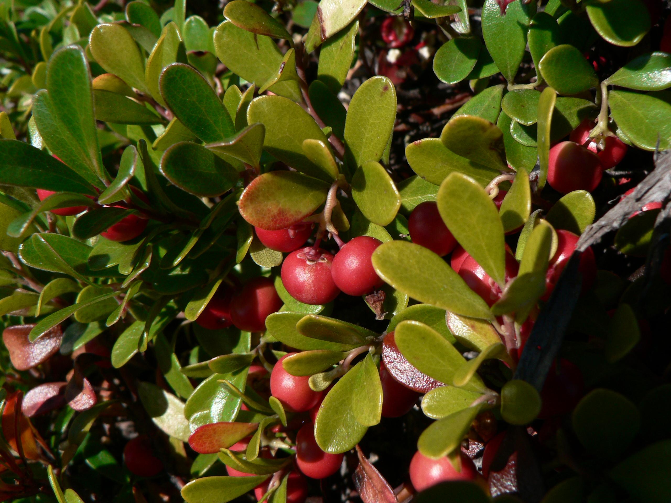 File:Arctostaphylos uva-ursi 25916.JPG - Wikimedia Commons