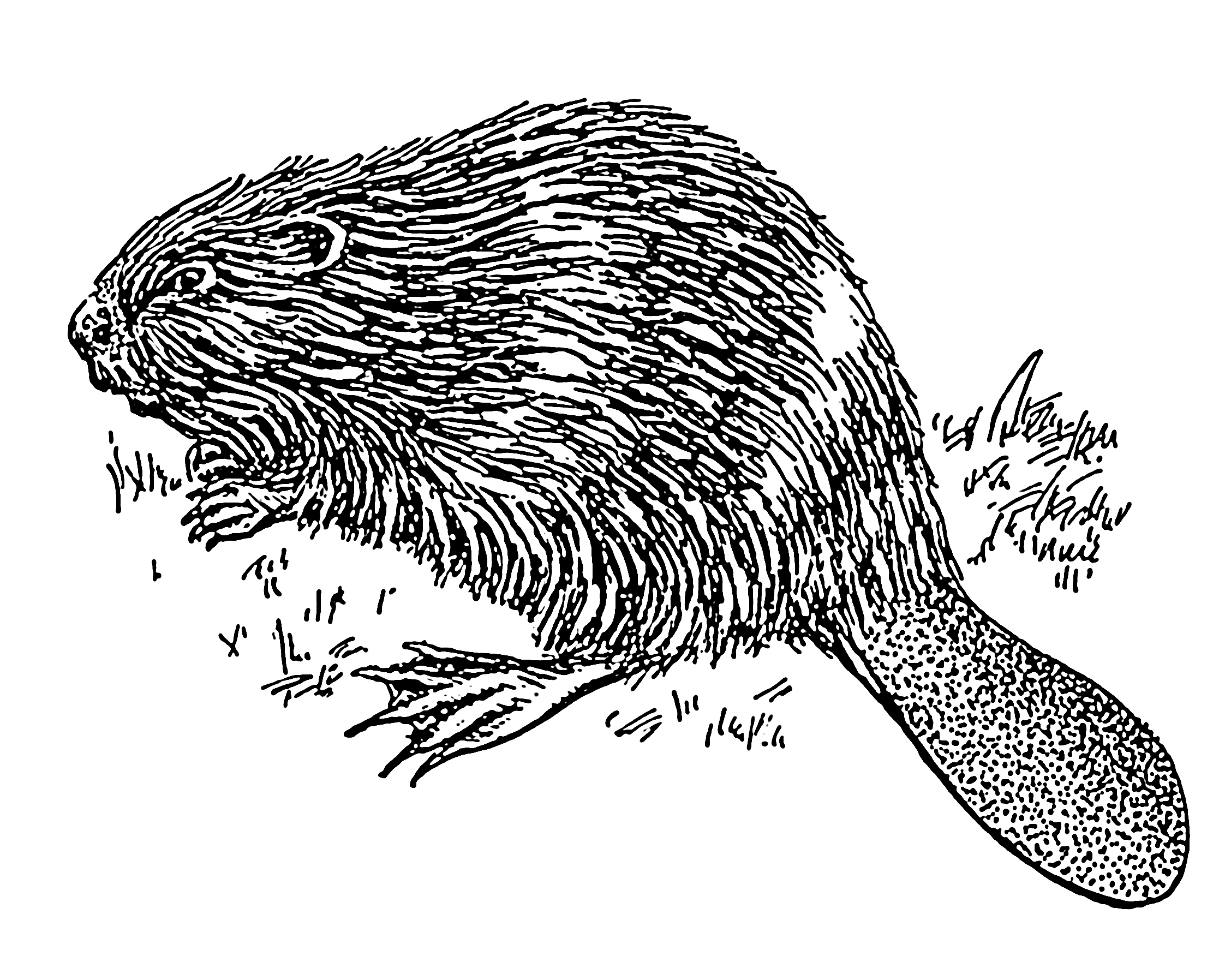 Line Art Wikipedia : File beaver psf wikimedia commons