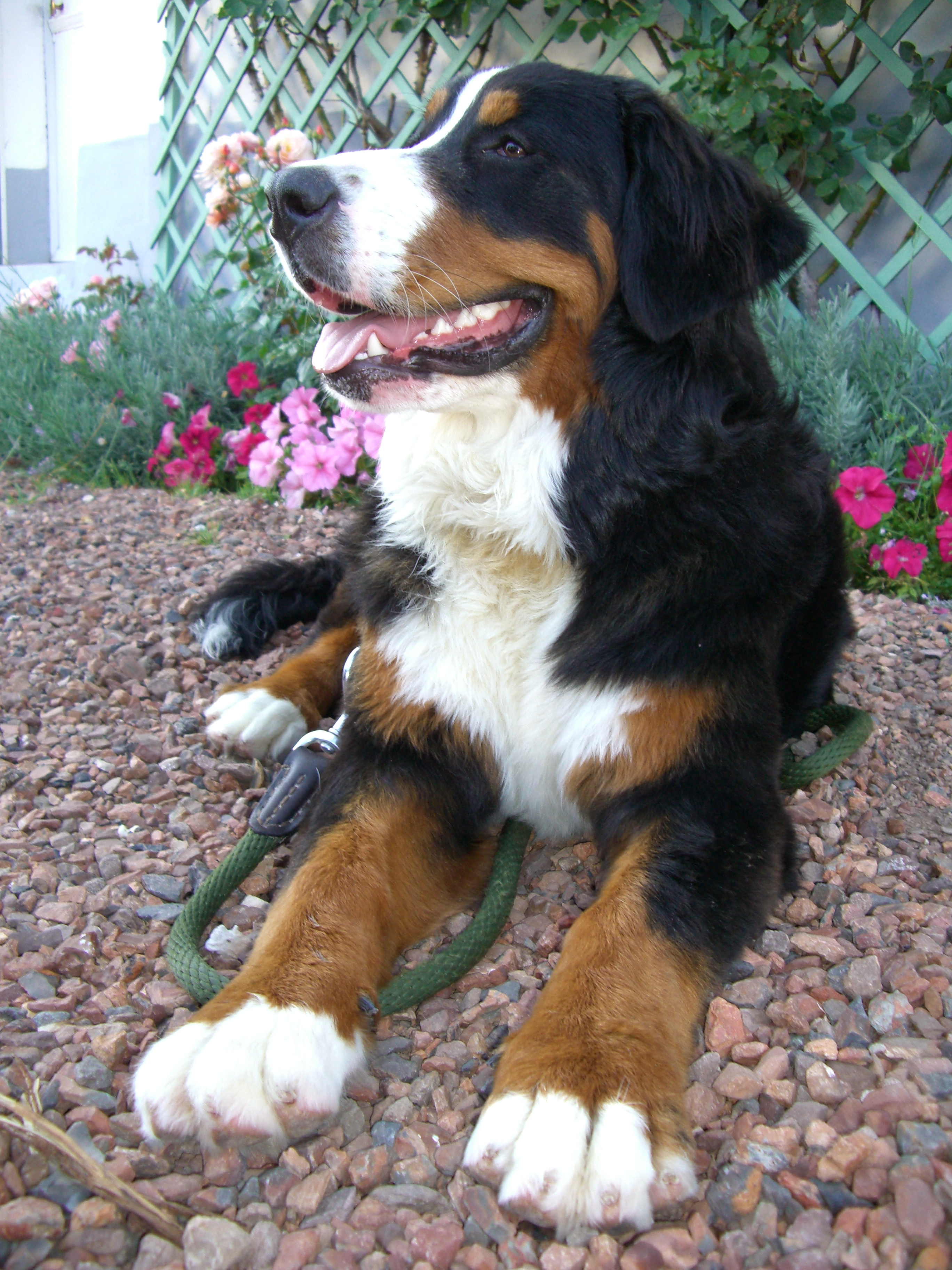 Bernese Mountain Dog Pointed Eats